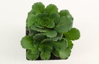 Saxifraga urbium | Schildersverdriet (pot 9x9cm)
