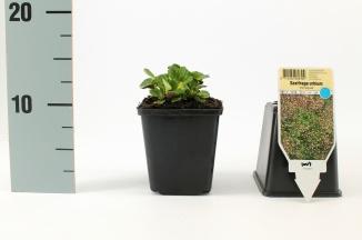 Saxifraga urbium 'Variegata' | Schildersverdriet (pot 9x9cm)