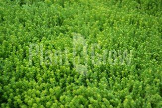 Sedum acre | Muurpeper