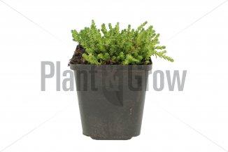 Sedum acre | Muurpeper (pot 9x9cm)
