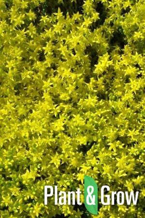 Sedum acre 'Yellow Queen' | Muurpeper