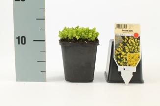 Sedum acre 'Yellow Queen' | Muurpeper (pot 9x9cm)