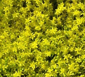 Sedum acre 'Yellow Queen' Muurpeper