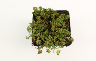 Sedum album 'Coral Carpet' | Muurpeper (pot 9x9cm)