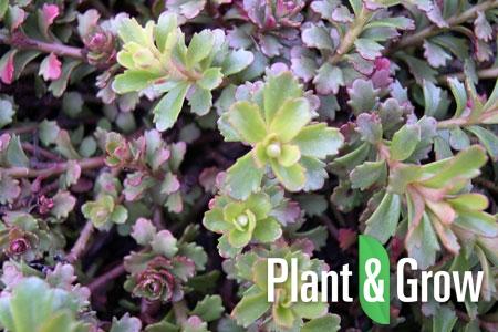Sedum floriferum | Vetkruid