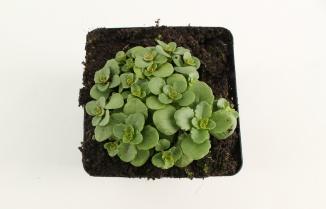 Sedum floriferum | Vetkruid (pot 9x9cm)