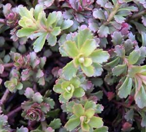 Sedum floriferum Vetkruid