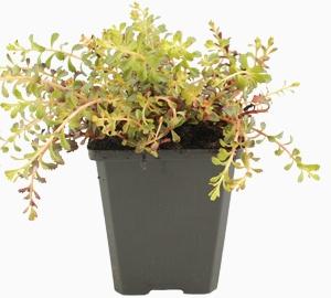 Sedum floriferum 'Weihenstephaner Gold' Vetkruid