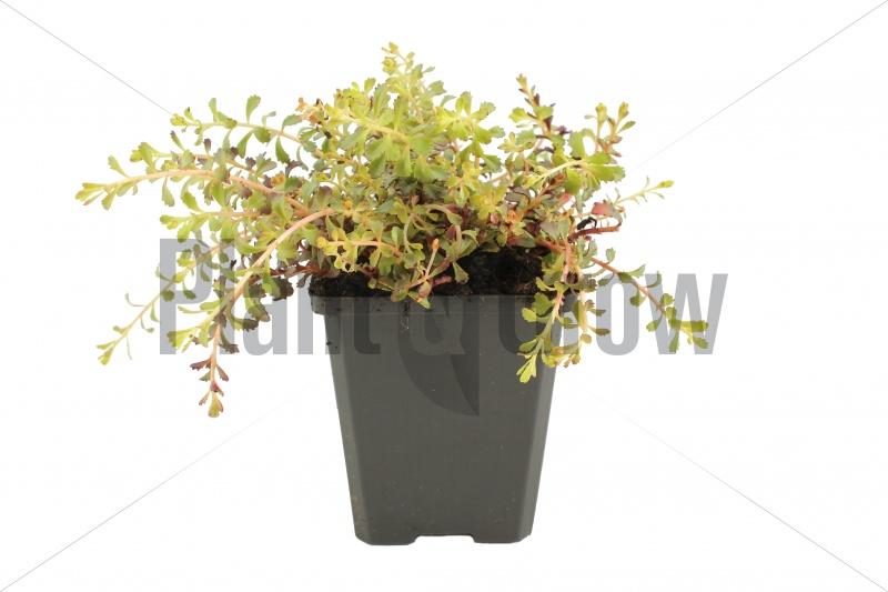Sedum floriferum 'Weihenstephaner Gold' | Vetkruid (pot 9x9cm)