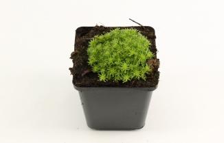 Sedum lydium   Vetkruid (pot 9x9cm)