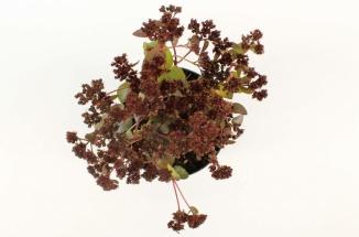 Sedum 'Purple Emperor' | Vetkruid (Ø 17cm pot)