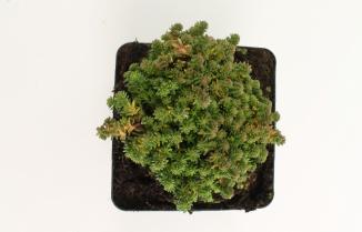 Sedum sexangulare | Zacht vetkruid (pot 9x9cm)