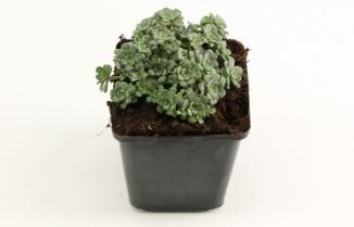 Sedum spathulifolium 'Cape Blanco'   Vetkruid (pot 9x9cm)