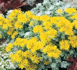 Sedum spathulifolium 'Cape Blanco' Vetkruid