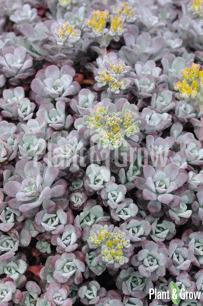 Sedum spathulifolium 'Purpureum' | Vetkruid