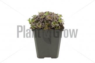 Sedum spathulifolium 'Purpureum' | Vetkruid (pot 9x9cm)