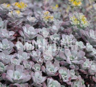 Sedum spathulifolium 'Purpureum' Vetkruid