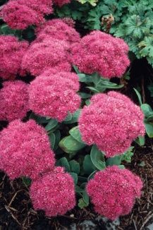 Sedum spectabile 'Brilliant' | Vetkruid