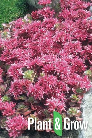 Sedum spurium 'Fuldaglut' | Roze vetkruid