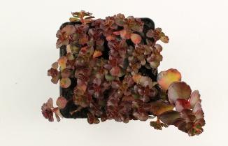 Sedum spurium 'Fuldaglut' | Roze vetkruid (pot 9x9cm)