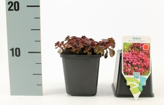 Sedum spurium 'Fuldaglut'   Roze vetkruid (pot 9x9cm)