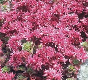 Sedum spurium 'Fuldaglut' Roze vetkruid