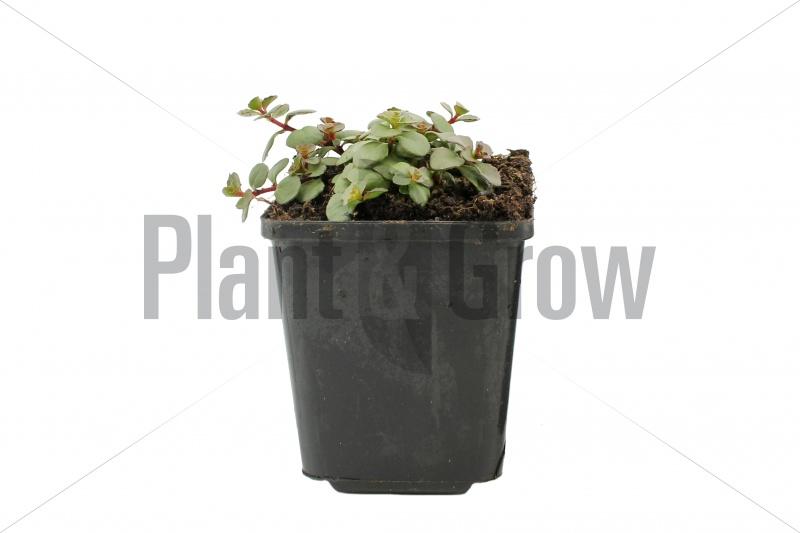 Sedum spurium 'Splendens' | Vetkruid (pot 9x9cm)