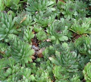 Sempervivum tectorum Donderblad