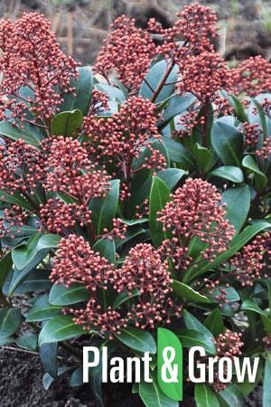 Skimmia japonica 'Rubella' | Skimmia