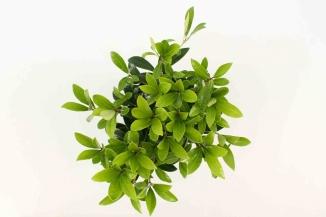 Skimmia japonica 'Rubella' | Skimmia (Ø 17cm pot)