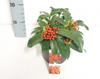 Skimmia reevesiana (Ø 17cm pot)