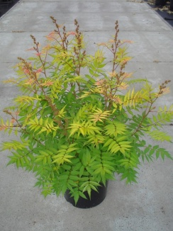 Sorbaria sorbifolia 'Sem' Lijsterbesspirea