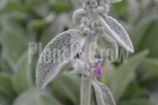 Stachys byzantina | Ezelsoor - prachtig behaard en zacht blad