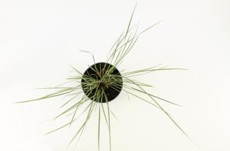 Stipa gigantea | Reuzenvedergras (Ø 17cm pot)