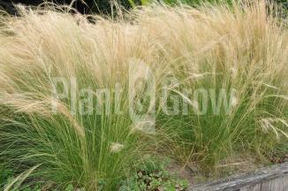 Stipa tenuissima 'Ponytails' | Vedergras