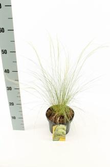 Stipa tenuissima 'Ponytails' | Vedergras (Ø 17cm pot)