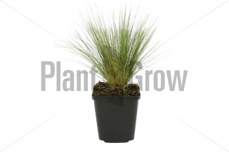 Stipa tenuissima | Vedergras (pot 9x9cm) - VOORJAAR