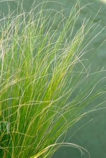 Stipa tenuissima | Vedergras