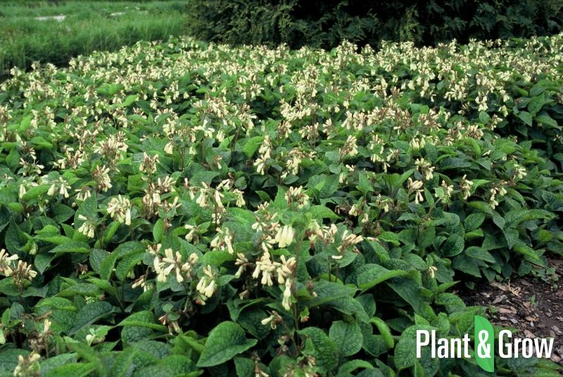 Symphytum grandiflorum | Smeerwortel