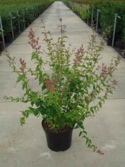 Syringa microphylla 'Superba' | Sering (12L pot)