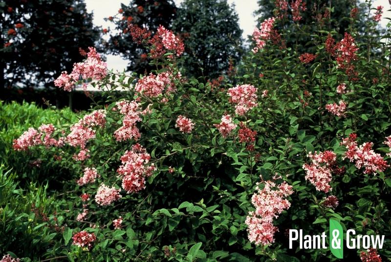 syringa microphylla 39 superba 39 sering kopen plant grow. Black Bedroom Furniture Sets. Home Design Ideas