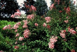 Syringa microphylla 'Superba' | Sering
