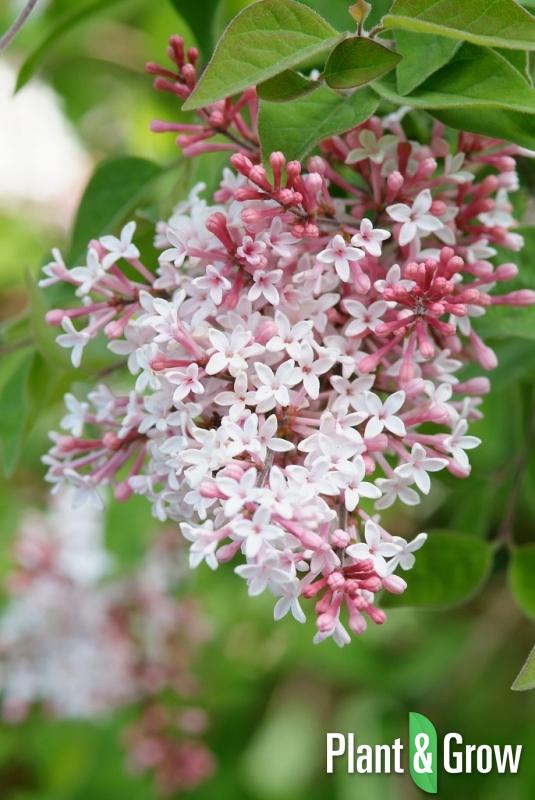 syringa microphylla 39 superba 39 kopen plant grow. Black Bedroom Furniture Sets. Home Design Ideas