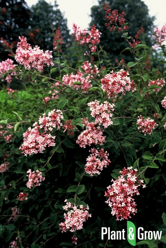 Syringa microphylla 'Superba'   Sering