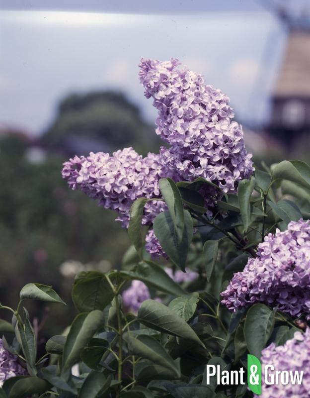 Syringa vulgaris 'Michel Buchner' | Sering