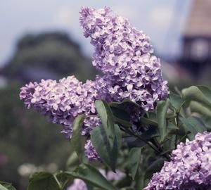 Syringa vulgaris 'Michel Buchner' Sering