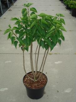 Syringa vulgaris 'Mme Lemoine'   Sering (12L pot)