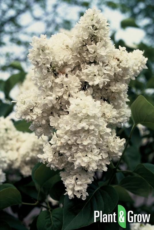 Syringa vulgaris 'Mme Lemoine'   Sering