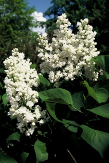 Syringa vulgaris 'Mme Lemoine' | Sering