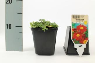 Tanacetum coccineum 'Robinson's Red' | Wormkruid (pot 9x9cm)